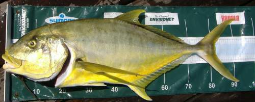 Goldern Trevally Gallery Link